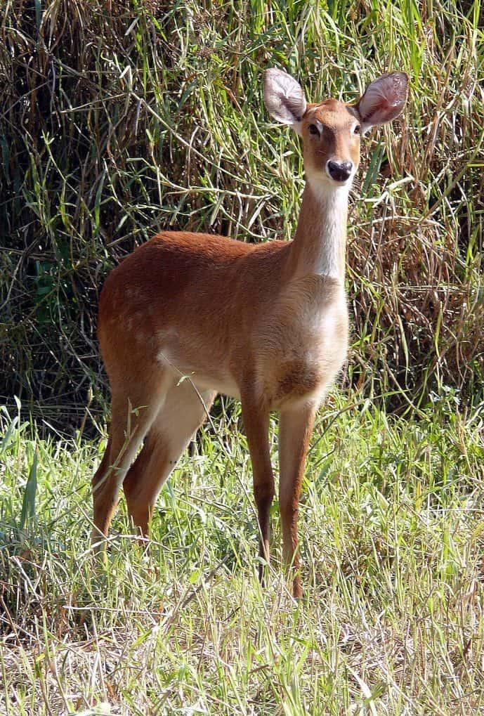1024px Sangai Brow antlered Deer Rucervus eldii eldii Manipur by Dr. Raju Kasambe 2