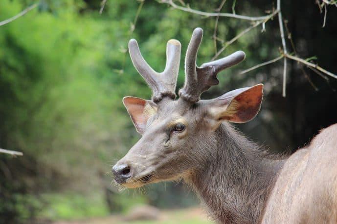 1599px Sangai Deer
