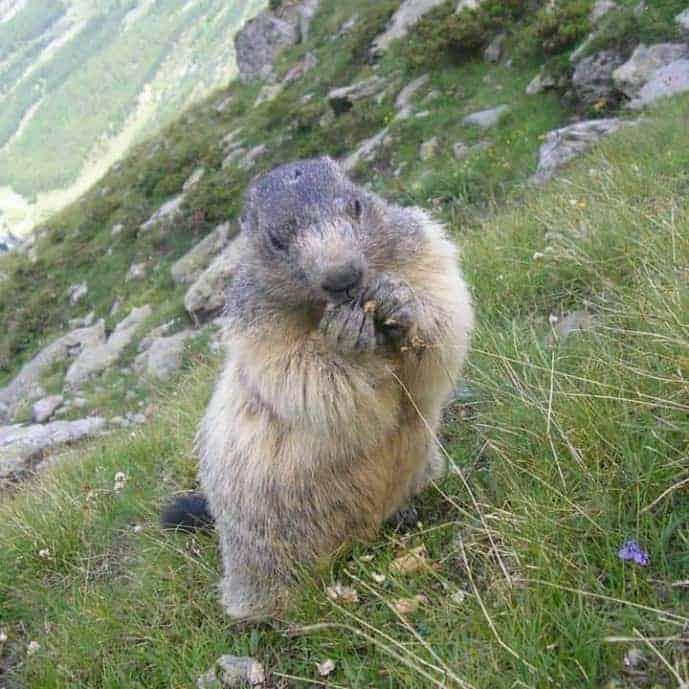 Marmots in Saas Fee