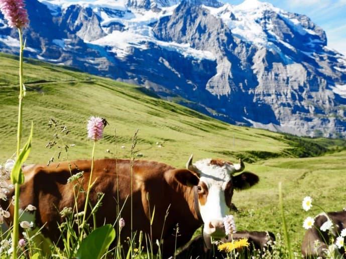 Kleine Scheidegg Cows Switzerland