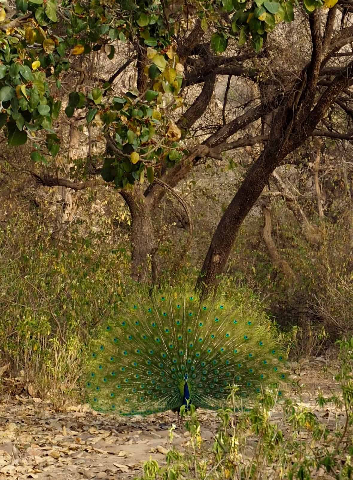 sariska safari