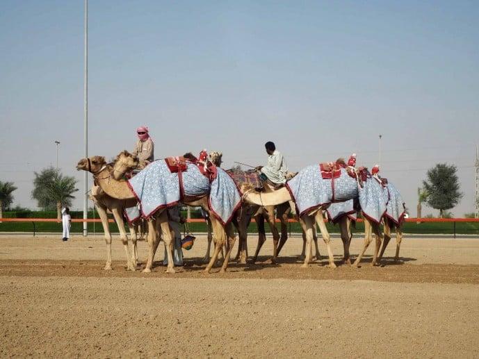 camel race track dubai