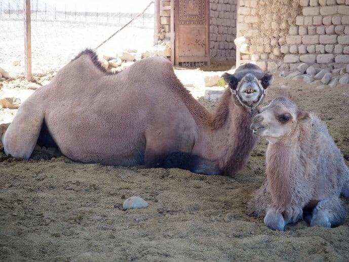 chushot camel farm