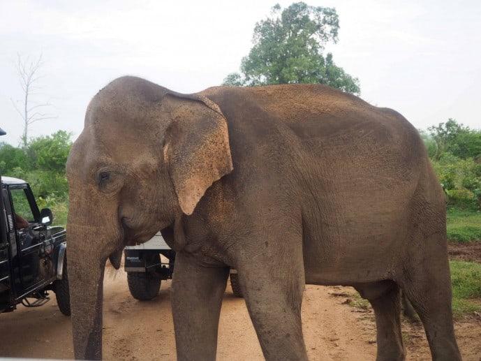 elephant udawalawe safari