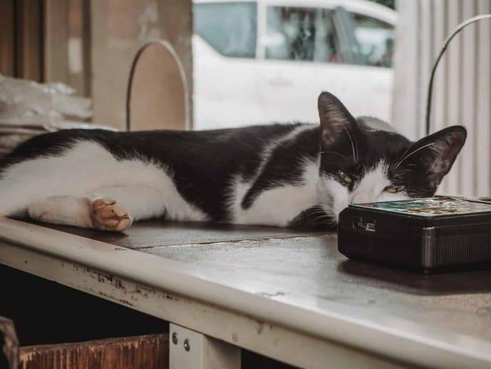 Alappuzha cat