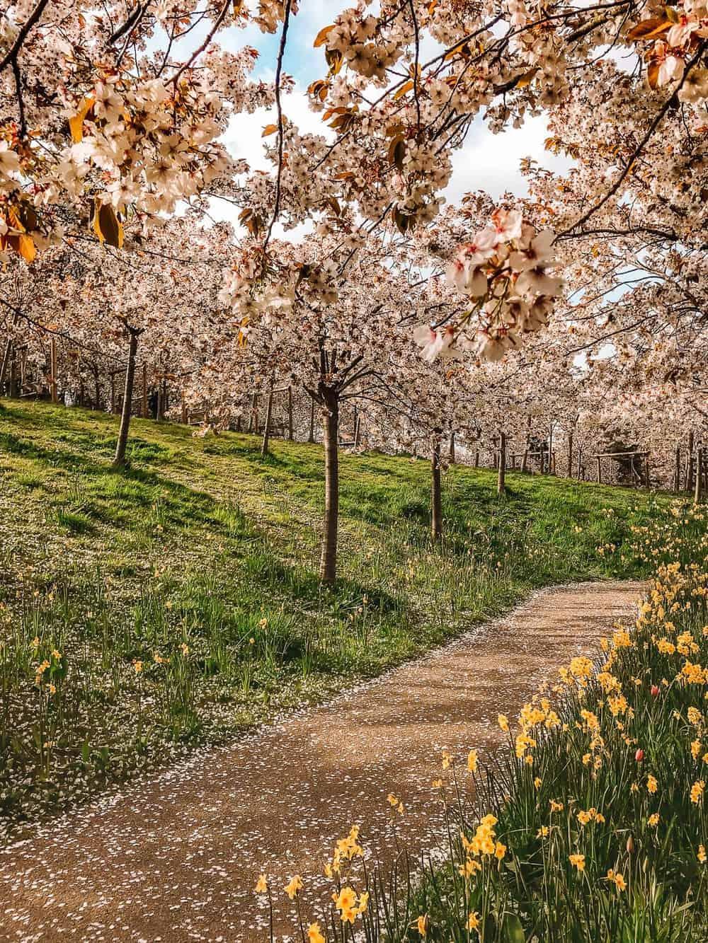 Alnwick Gardens Cherry Blossom Orchard