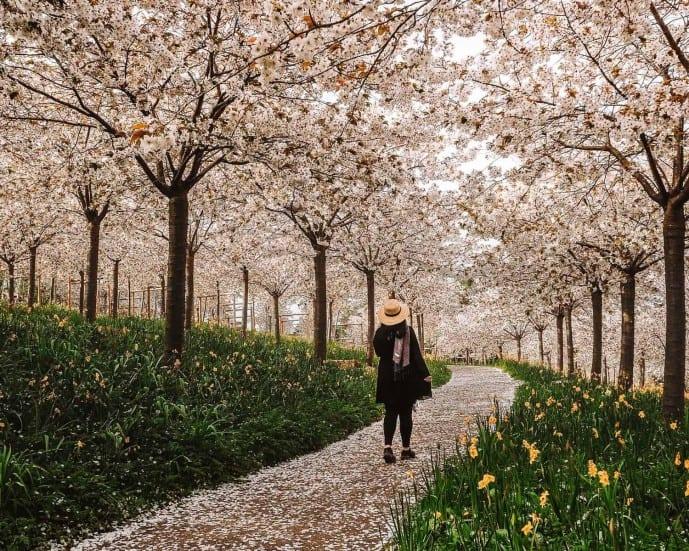 Alnwick Gardens Cherry blossom