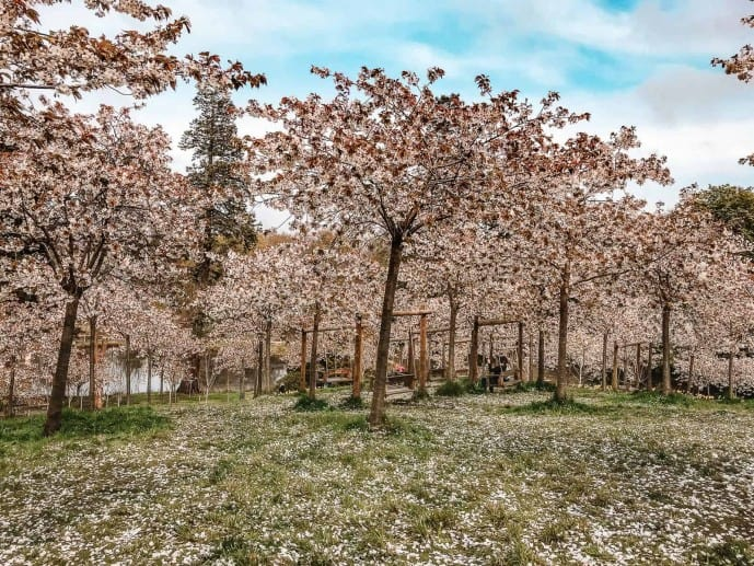 Cherry Blossom at the Alnwick Garden