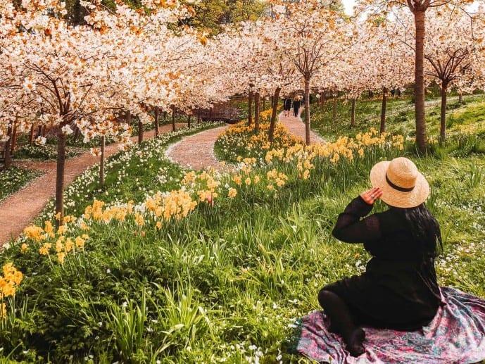 Alnwick Garden Cherry Blossom