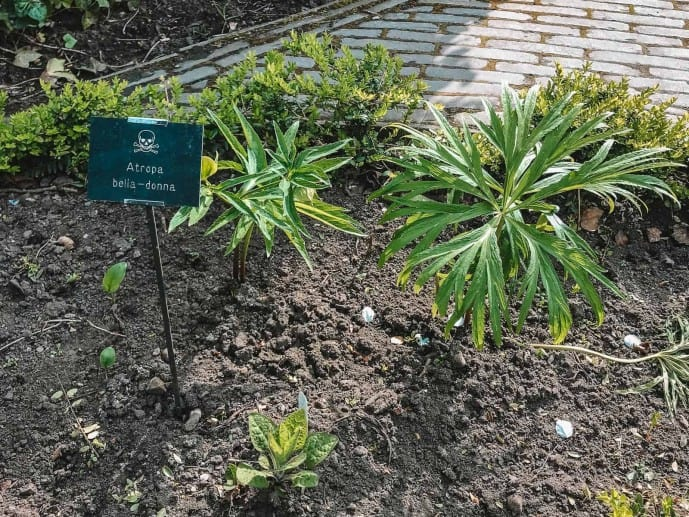 Alnwick Garden Belladonna