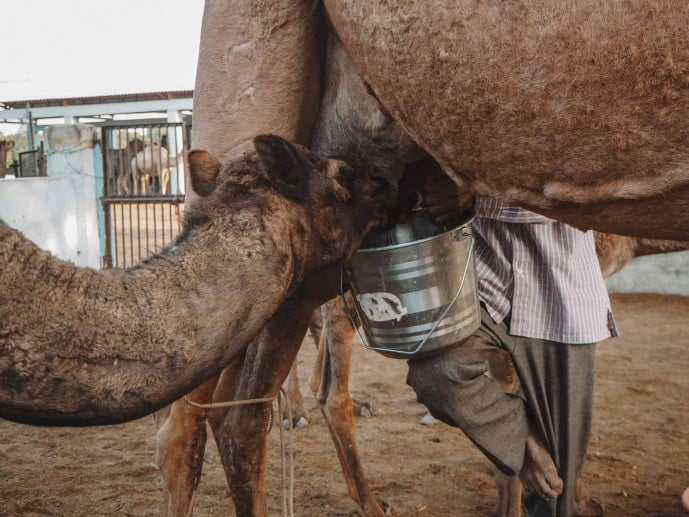 Bikaner Camel Research Centre | Places to visit in Bikaner