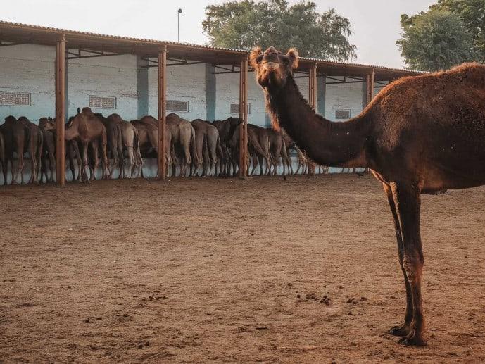 Bikaneri camel, ICAR Camel Research Centre | Places to visit in Bikaner
