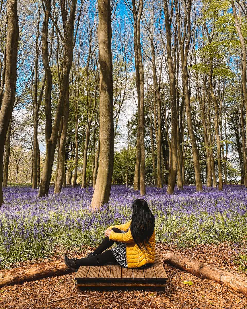 Badbury Clump bluebells wood