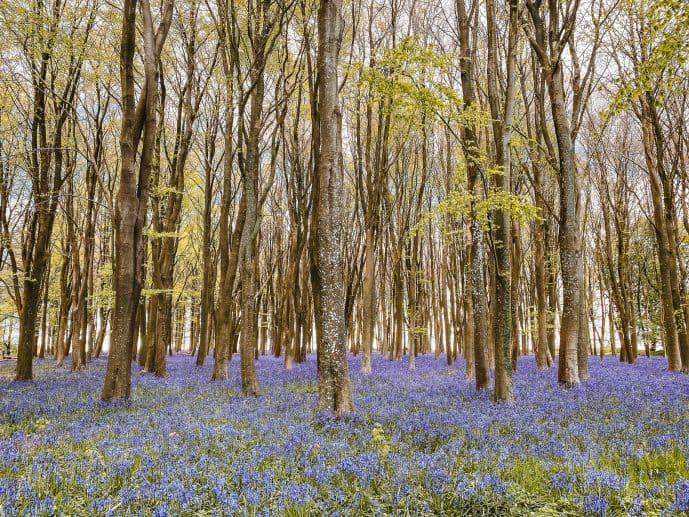 Bradbury Hill bluebell wood