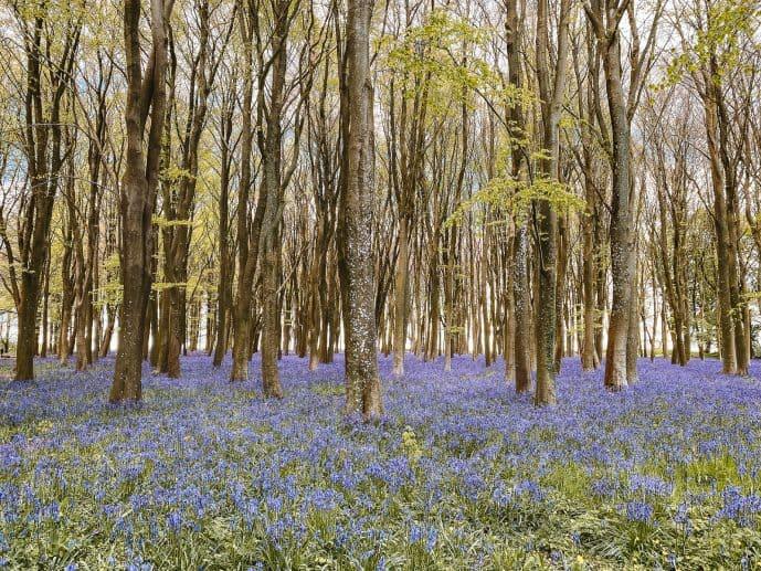 Badbury Clump Bluebells and beech trees