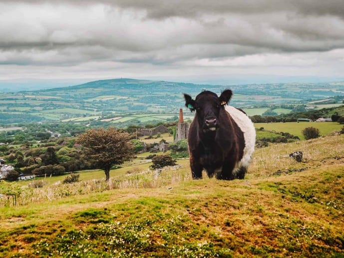 Cows on Bodmin Moor