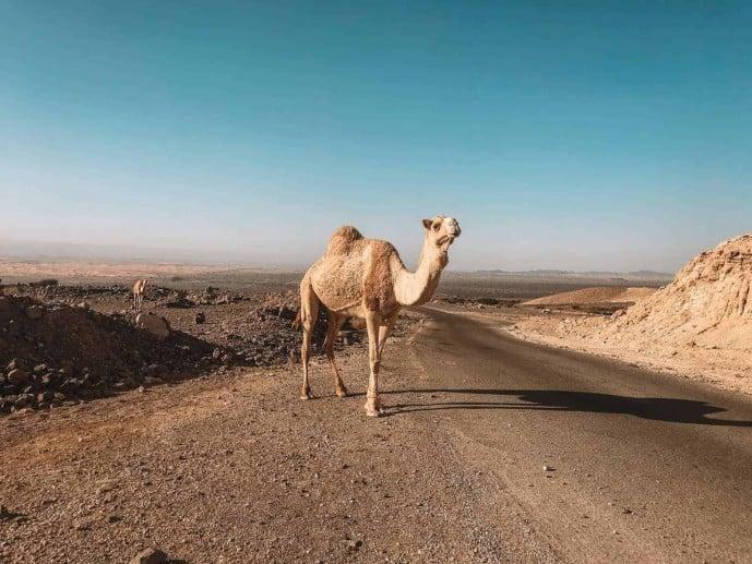 Camel on the road in Jordan