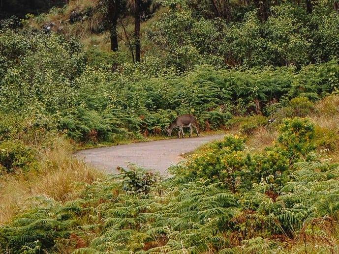 Nilgiri Tahr Deer in Kerala