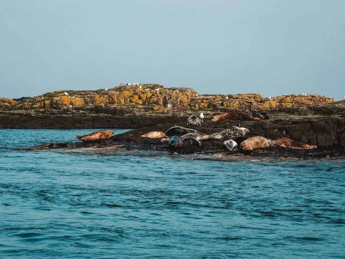 Grey Seals Farne Islands