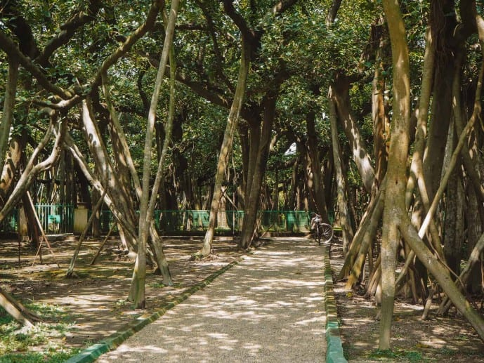 Inside The Great Banyan Tree!