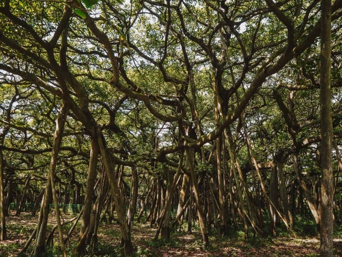 The Great Banyan Tree is the biggest Banyan tree in the world
