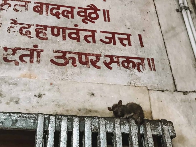 Karni Mata Temple | Temple of Rats