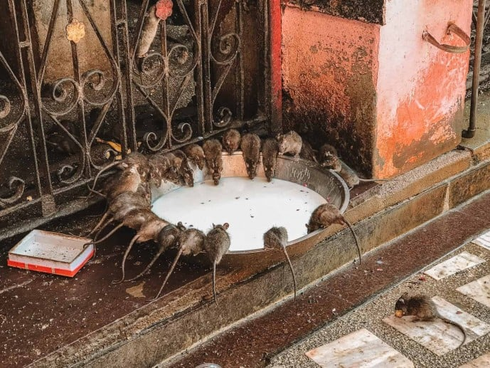 Temple of Rats | Rat Temple in India