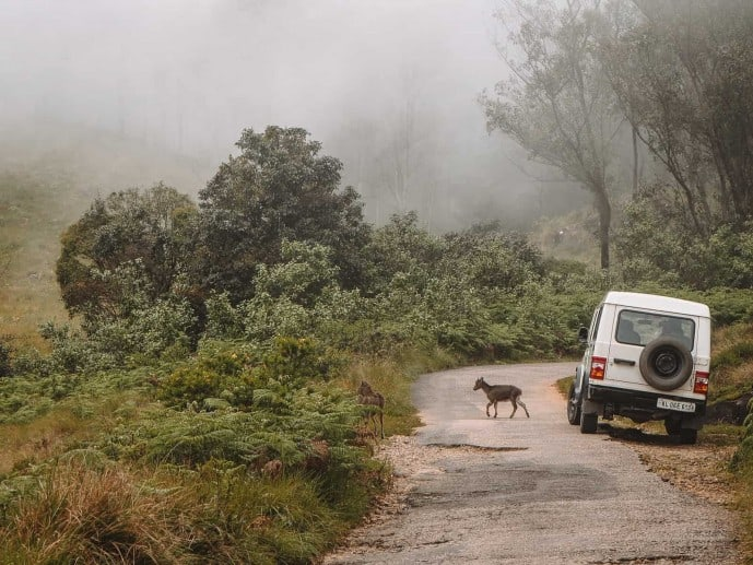 Nilgiri Tahr Deer at Erivakulum National Park