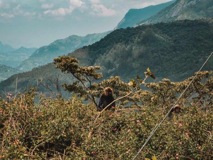 Nilgiri Langur | Things to do in Munnar
