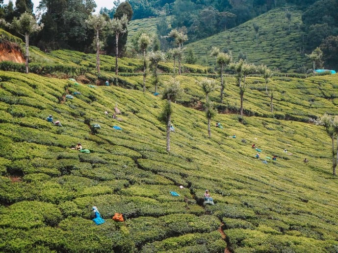 Munnar Tea Plantation | Lockhart Tea Plantation