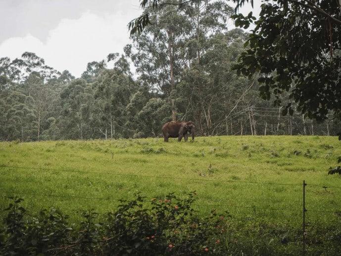 Wild Elephant in Munnar