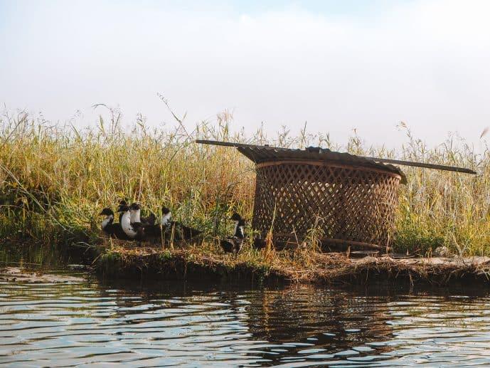 Ducks on Loktak Lake