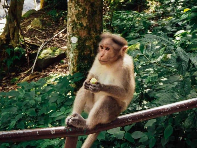 Monkeys in Munnar