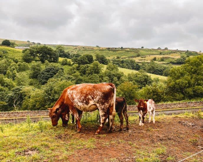 Cows at Gradbach Mill