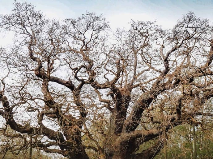 The Major Oak's knarled branches