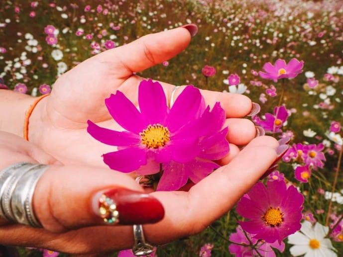 Cosmos flower in Arunachal Pradesh