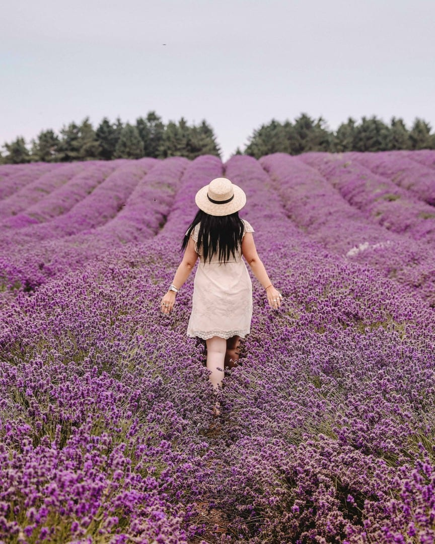 COTSWOLD LAVENDER FIELDS: 7 TOP TRAVEL TIPS FOR YOUR VISIT