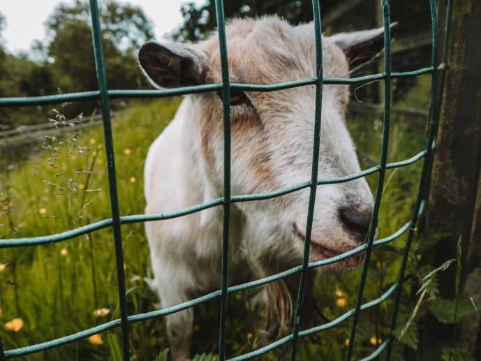 Tim the goat at River Edge Lodges