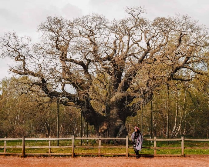 The Major Oak Sherwood Forest