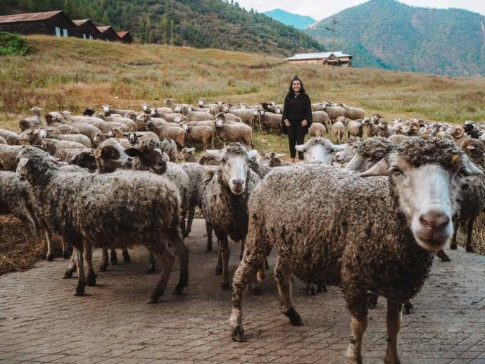Sangti Sheep