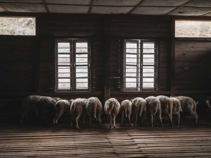 Sheep in Sangti Valley
