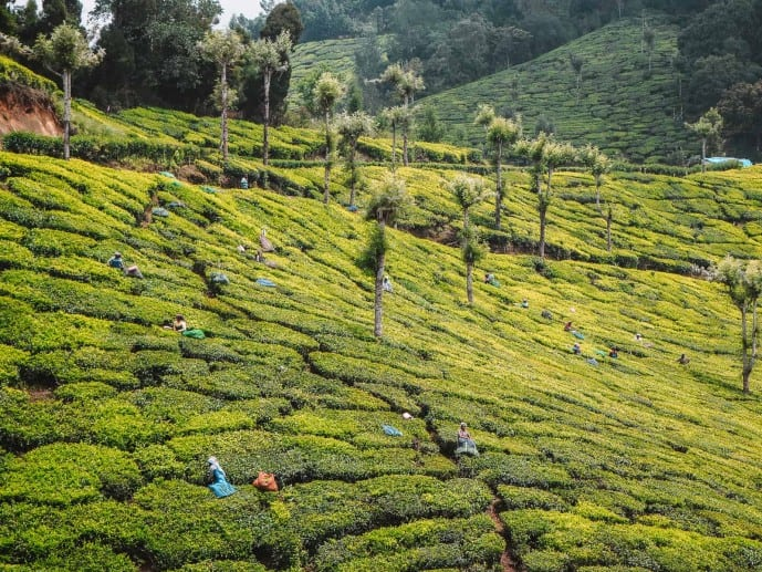 Human By Nature Kerala tea plantations