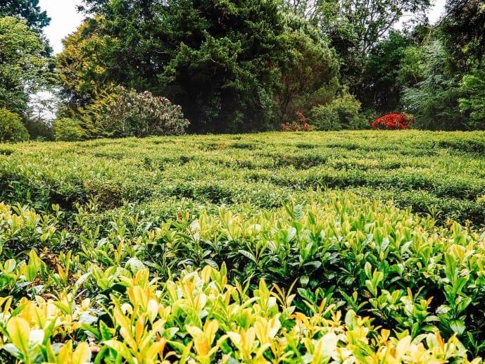 Tregothnan tea plantation