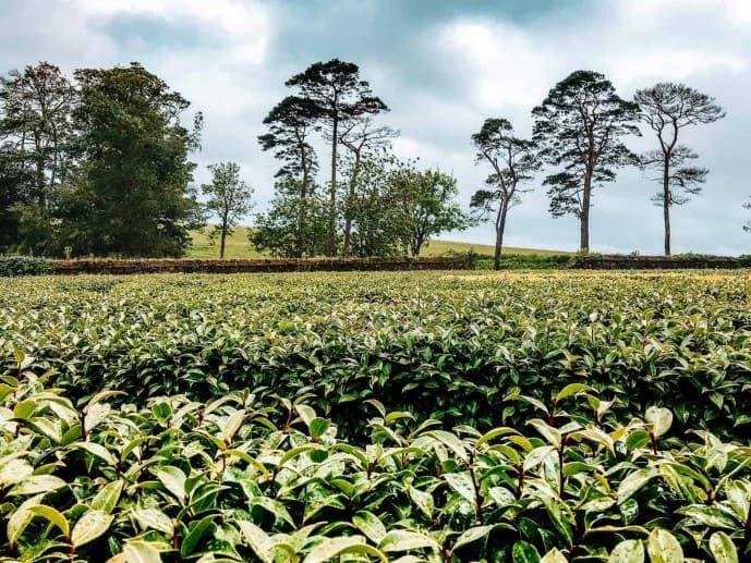 Tregothnan Camellia maze