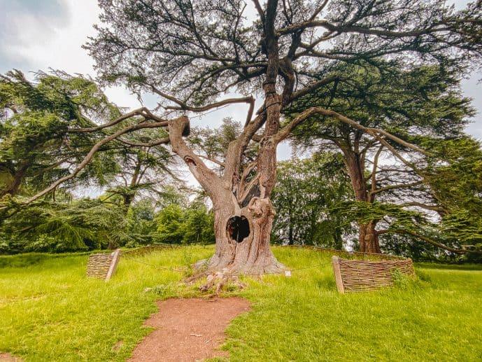 The Harry Potter Tree Blenheim