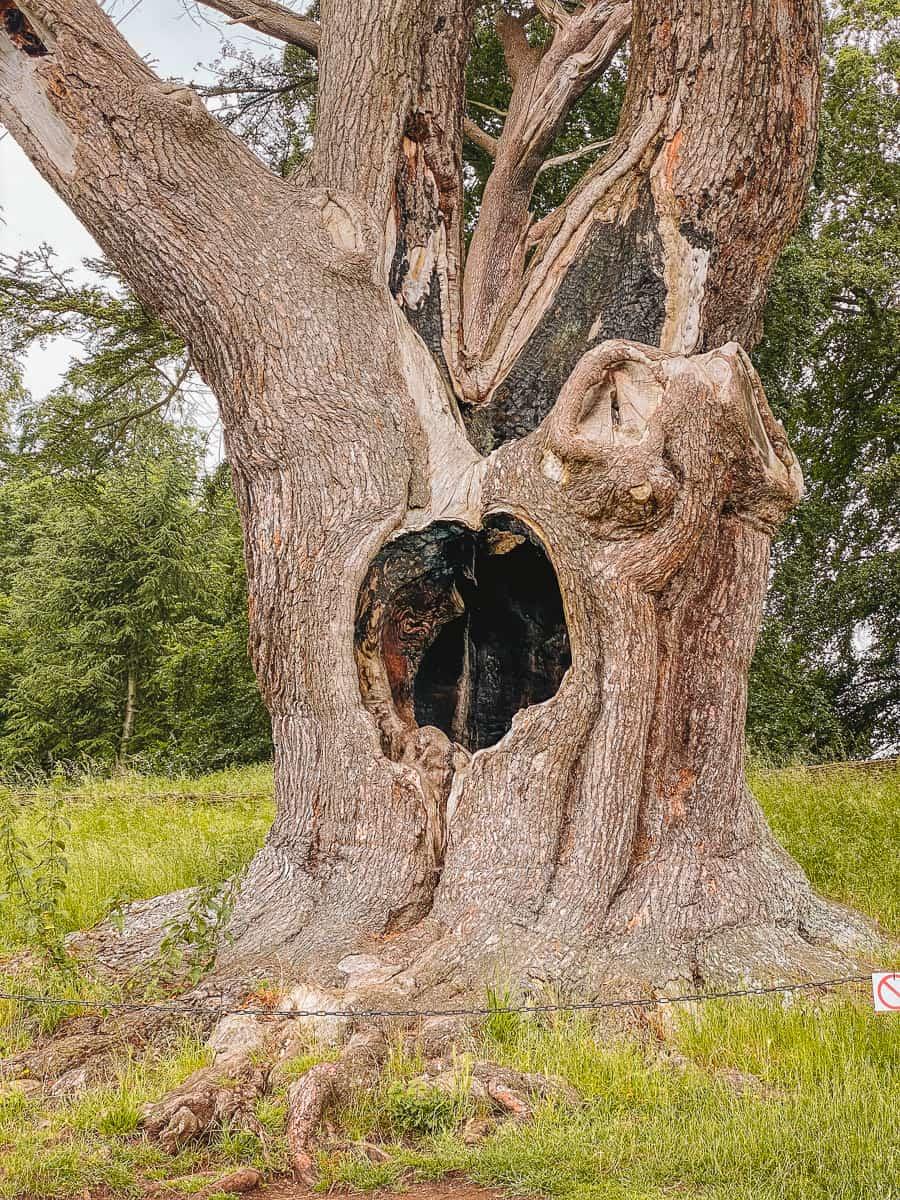 The hole tree at Blenheim Palace