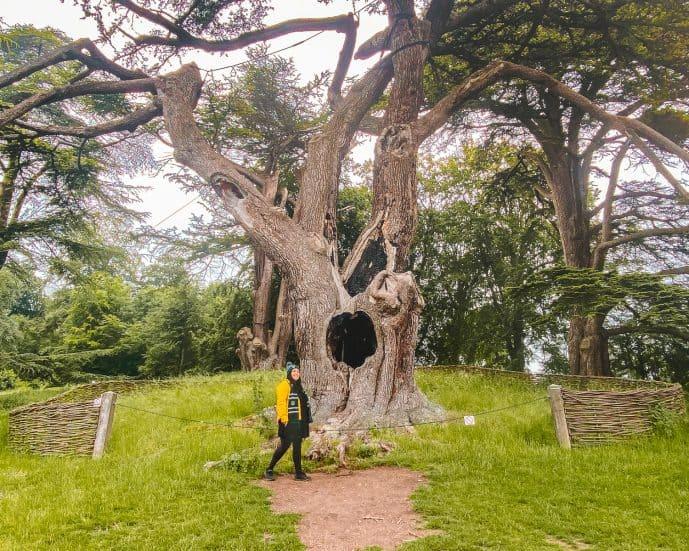 Blenheim Harry Potter Tree