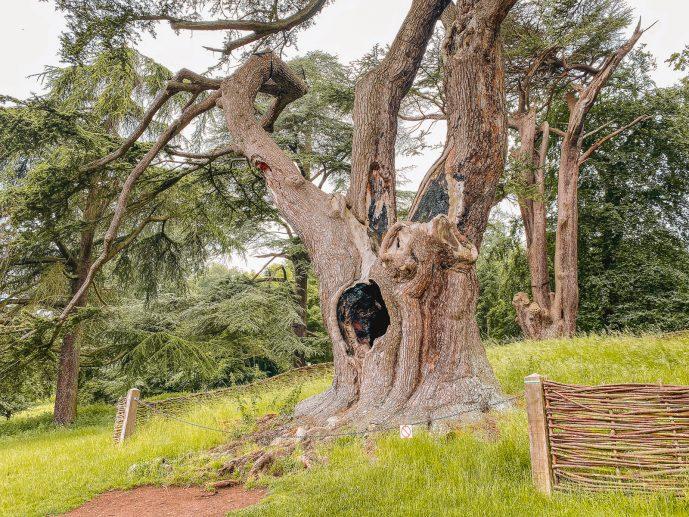 Harry Potter Tree Blenheim