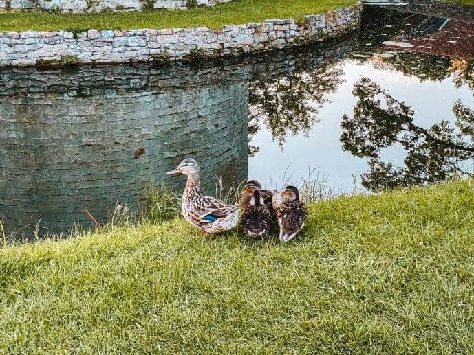 Ducks outside Nunney Castle