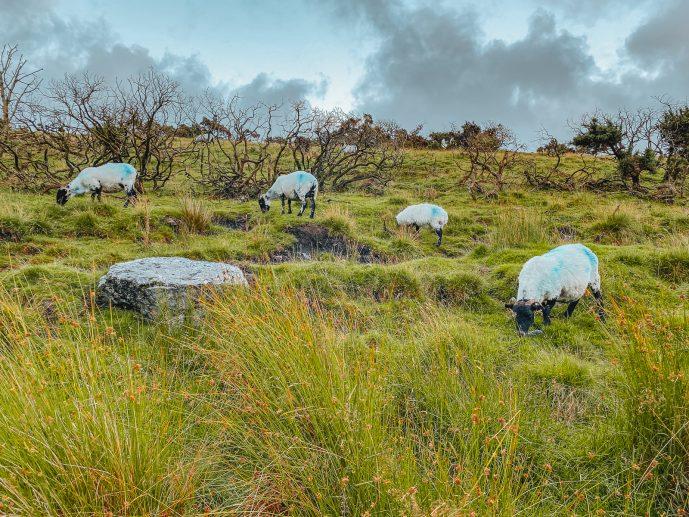 sheep grazing on Dartmoor